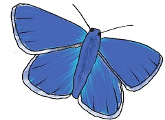Adonis-Blue-Butterfly - Small